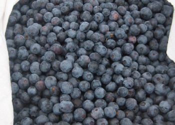 Basket of blueberries from Sonoma Swamp Blues