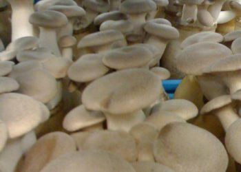Mushrooms ready for harvest