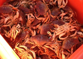 Fresh Dungeness Crab off the boat