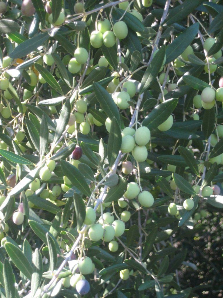 Olives and mills to process them into oil dot the landscape in both Provence and Sonoma.