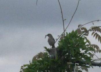 Mockingbird with a worm