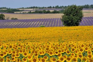 Fields of sunflowers and lavender, in Provence
